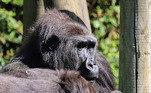 Infelizmente, o primeiro bebê de Kala, que nasceu em setembro passado, morreu quando tinha menos de uma semana de idade. A mãe gorila passou por uma cesariana de emergência, pois ela tinha uma placenta baixa que bloqueou o canal do parto, impedindo o bebê de nascer naturalmente