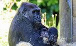 """De acordo com Lynsey, Kala (que veio da Alemanha para o zoológico em 2018) e seu recém-nascido estão bem. """"Ela está sendo muito atenciosa e cuidando bem do bebê"""", ela compartilhou. """"É muito cedo, mas estamos cautelosamente otimistas. Os primeiros sinais são bons e o bebê parece ter um bom tamanho e é forte"""