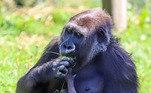 Estas imagens adoráveis de uma mãe gorila embalando seu bebê recém-nascido, no zoológico de Bristol, na Inglaterra, estão viralizando. O pequeno gorila nasceu em 19 de agosto, enquanto os momentos de ternura entre o bebê e sua mãe foram capturados pela câmera por um fotógrafo do zoológico quando o bebê tinha menos de duas semanas