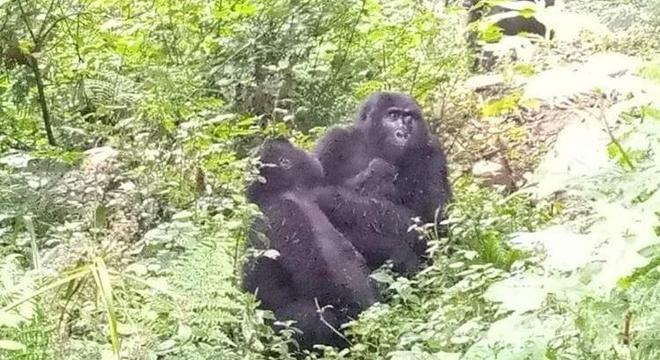 Só em 2020 já foram sete novos bebês gorilas