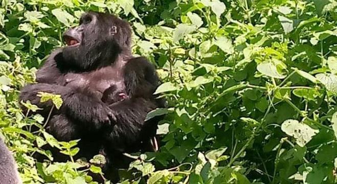 Uganda possui metade da população mundial dos gorilas da montanha