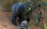 Ele é filho da gorila-fêmea Imbi e do macho Leon.Ela tem 21 anos de idade e chegou ao Zoo de BH em 2011, vindo do Reino Unido. O macho tem 23 anos, chegou à capital mineira em 2013, da Espanha