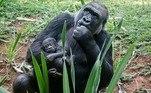 O filhote nasceu uma semana antes do aniversário de 7 anos do irmão Jahari (foto). Segundo a Prefeitura de BH, o grupo reprodutivo da espécie, ameaçada de extinção, é o primeiro e único da capital