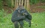 A visitação ao recinto dos gorilas estará restrita ao túnel, com as laterais interditadas, por tempo indeterminado, para garantir a privacidade e segurança da família com a chegada do filhote