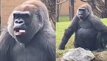 Gorila ousada abana a língua para visitante cordial em zoológico