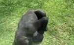 O gorila saiu de um canto da área dele após ver o pássaro caído no chãoLEIA MAIS:Espetáculo alarmante: crocodilos invadem ruas após enchentes
