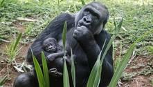 Filhote nasce e amplia família de gorilas no Zoológico de BH