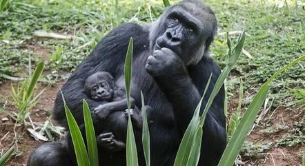 Filhote é filho dos gorilas Imbi e Leon