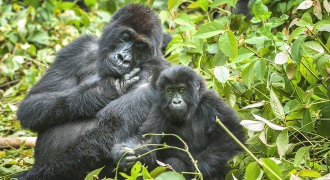 Gorilas nas montanhas do Congo enfrentam a ameaça da caça ilegal