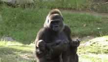Gorilas se recuperam totalmente da covid-19 em zoológico nos EUA