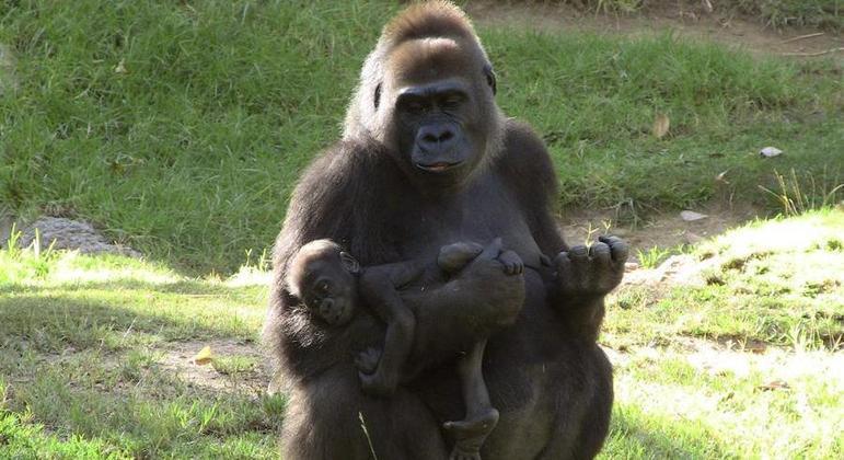 Zoológico vai divulgar todos dados sobre a infecção pelo coronavírus nos gorilas