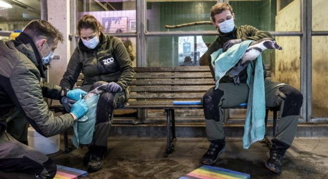 Veterinários fazem teste de gripe aviária em pinguins na Dinamarca