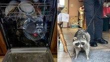 Guaxinim saqueia cozinha, mas é preso após soneca em lava-louças