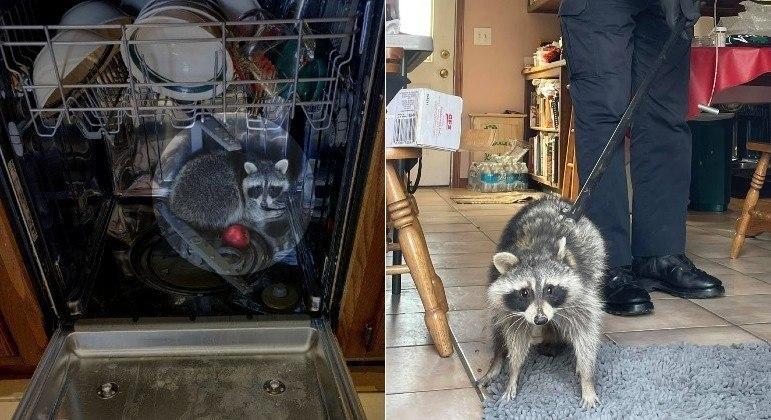 Guaxinim foi capturado pela polícia após saquear cozinha e dormir em lava-louças