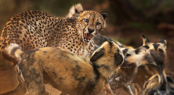 Guepardo e cachorros selvagens