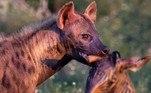 Um registro brutal mostra uma hiena carregando a cabeça decepada de uma zebra. Mesmo vitoriosa, a hiena também aparenta sentir os efeitos da luta, com um claro cansaço na cara. ATENÇÃO: IMAGENS FORTES!