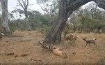 Os cachorros percebem claramente que vão perder a caça e fazem o que qualquer grupo faria