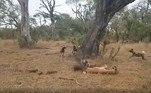 Os cães ainda brigaram pela carne, mas as hienas só se foram quando estavam fartas, deixando apenas restos. O leopardo permaneceu na árvore durante toda a gravaçãoNo mesmo parque, uma hiena pilantra havia roubado a caça de uma píton e saiu ilesa. Veja a seguir essa interação impressionante!