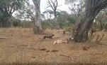 O grupo de necrófagos (bela palavra!) soltam uma série de sons característicos: risadas pras hienas e uivos dos cachorros