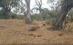 Comem o que conseguem e depois correm das hienasNÃO PERCA:Elefante-marinho se perde e causa alvoroço em cidade de quarentena