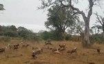 Mas a gravação continua, e mostra um grupo de hienas (rindo) percebendo a oportunidadeVEJA TAMBÉM:Cabra deixa aldeões boquiabertos ao ser flagrada em 'modo bípede'