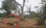 A Natureza continua a mostrar que possui leis muito estranhas, como nos lembra esse vídeo gravado noParque Nacional Kruger, da África do Sul. Nele, uma sucessão de coisas acontece, incluindo uma caça, um grupo que rouba essa caça e outro grupo que rouba os ladrões. Uma trama completa!