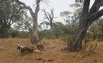 O leopardo é o caçador original e aparece na frente das câmeras do parque com um impala, uma espécie de antílope