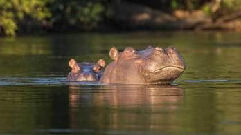 Turistas podem atirar em hipopótamos em safári na Zambia (Todos ao mar: Salvador e suas praias paradisíacas)