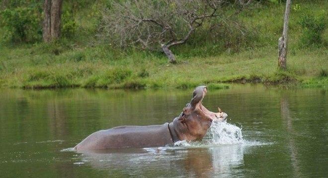 Abandonados no interior da Colômbia, hipopótamos de Pablo Escobar se reproduziram