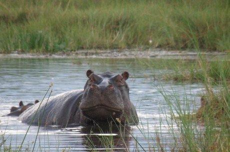 'El Viejo', o patriarca dos hipopótamos de Escobar