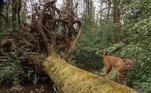 Ao voltar mais tarde para ver o que havia conseguido, encontrou uma sequência de imagens que o fez gargalhar sozinho no meio da floresta