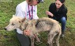 Quando o cãozinho foi encontrado por ativistas do Pet Angels Rescue of Oklahom, ele era apenas um saco de ossos e pelos. Por sorte, ele pôde ser salvo