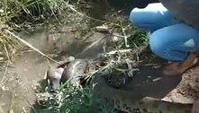 Vídeo mostra cachorro atacado por sucuri no interior de São Paulo