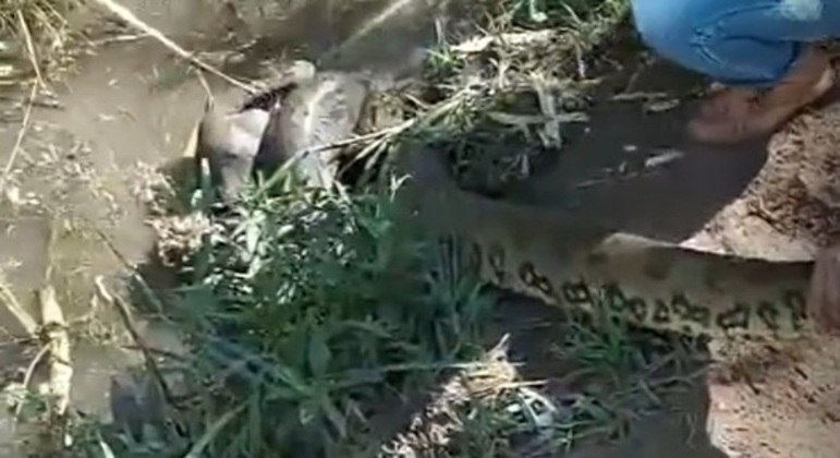 Resgate de cão atacado por sucuri no interior de SP