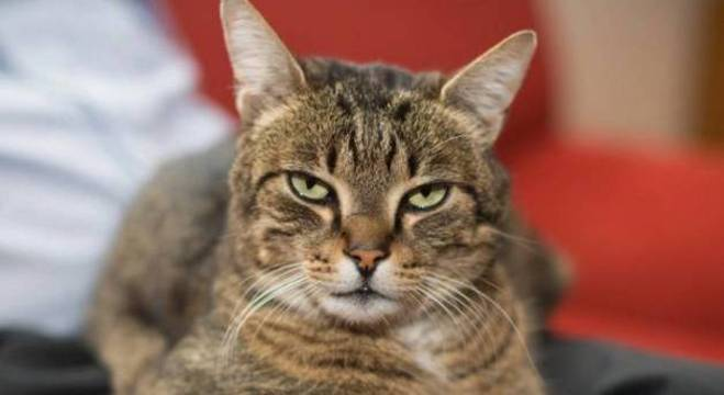 Indiferença dos gatos não tem nada a ver com a inteligência deles