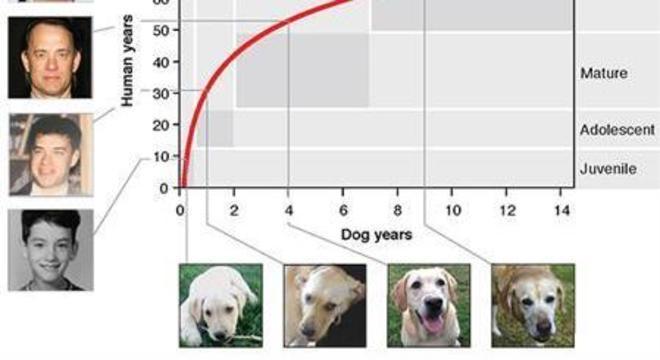 Gráfico mostra proporção em envelhecimento de um cachorro em relação aos humanos