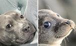 Pitca ou Focabull? A incrível semelhança deste cão e desta foca é impressionanteVeja também:Pata faz sucesso na internet com 'cabeleira' que parece uma peruca