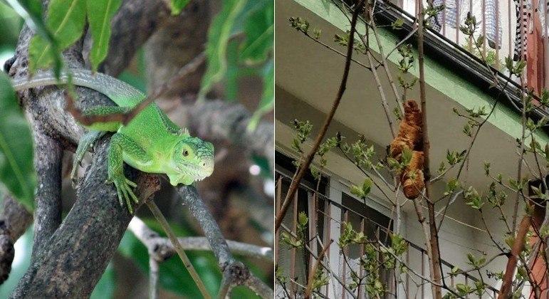 Para um ser humano em pânico croissants não estão distantes de iguanas