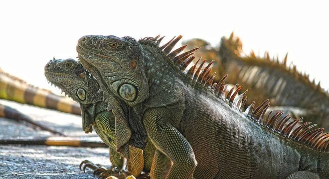 Iguanas - Qual seu habitat natural, qual sua origem e como vivem?