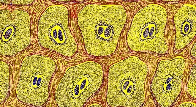 As células são objeto de fascínio para o homem há séculos. Na imagem, a ilustração de células de um livro publicado em 1905