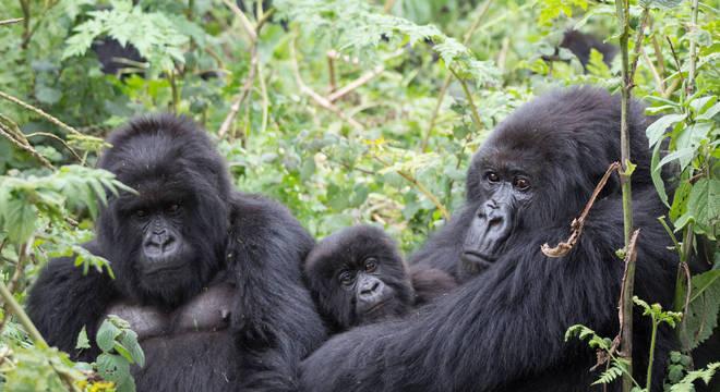 urandir   TECNOLOGIA   Gorilas machos que se dedicam aos filhotes se reproduzem mais, aponta estudo