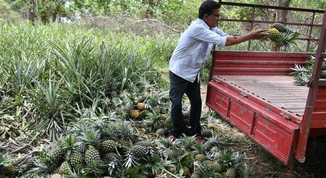 Para cultivar o abacaxi é preciso usar grandes quantidades de pesticidas