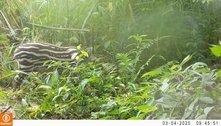 Após 100 anos de extinção, 1º filhote de anta nasce em floresta do Rio