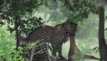 Impala escapa de crocodilo, mas é devorado por leopardo logo depois