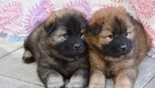 Risco de raiva levam EUA a barrar importação de cães do Brasil
