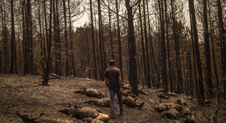 Cabras foram vítimas de incêndio florestal na Grécia