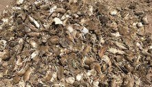 Vídeo chocante mostra ratos triturados por máquina agrícola