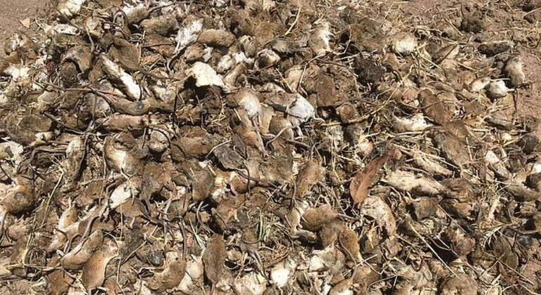 Amontoado de roedores foi fotografado em fazenda atingida por praga, na Austrália