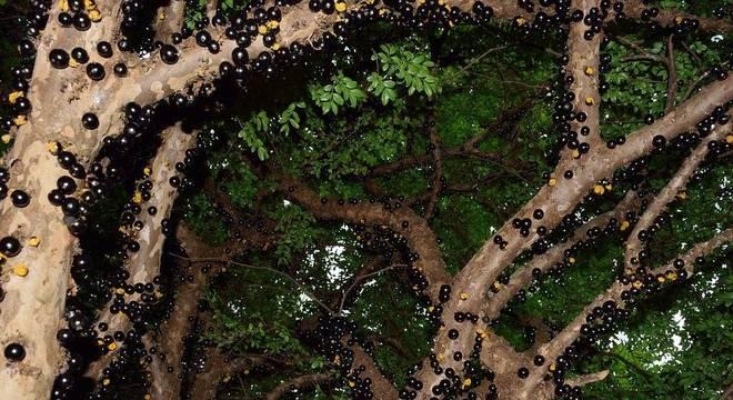 O extrato da casca da jabuticaba foi desenvolvido pelos pesquisadores