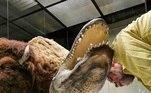Saturno era um jacaré americano (alligator), que nasceu noMississippi, em 1936. Em algum momento da vida dele, foi capturado e enviado para a Alemanha, onde foi exibido no Zoológico de Berlim